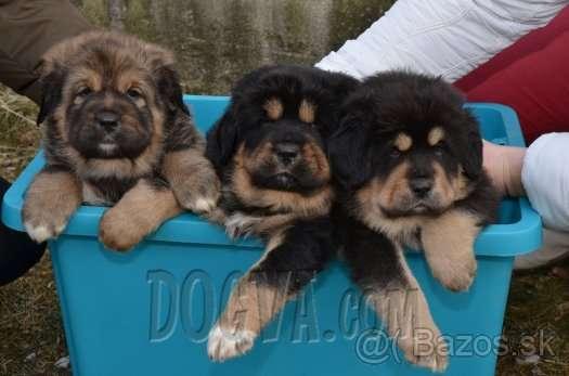 Tibetan Mastiff puppies for sale | Puppies for sale | DOGVA com