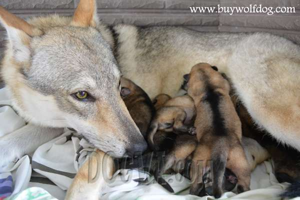 Czechoslovakian Wolfdog Puppies For Sale From New York, USA