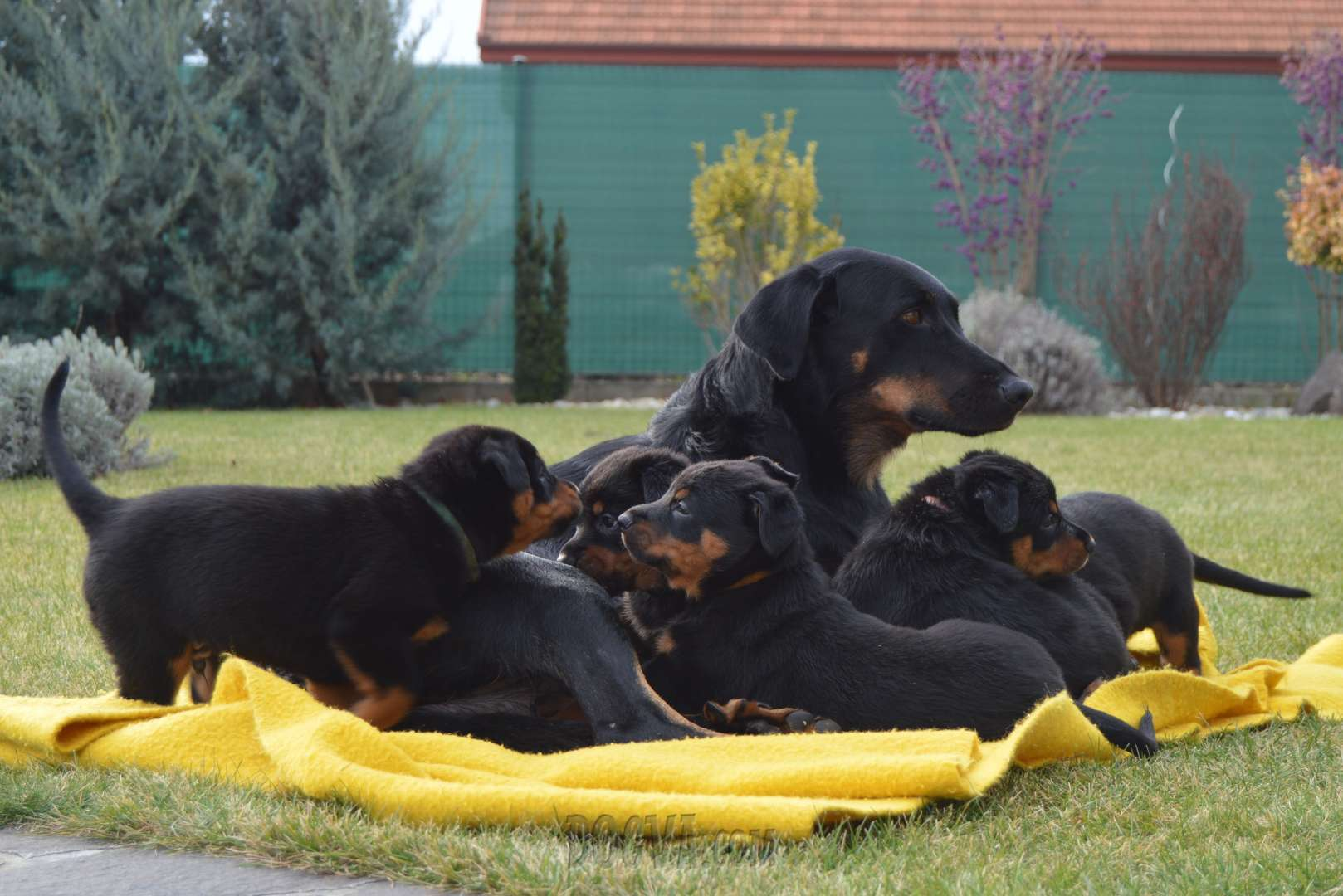 Beauceron Puppies For Sale Puppies For Sale Dogvacom