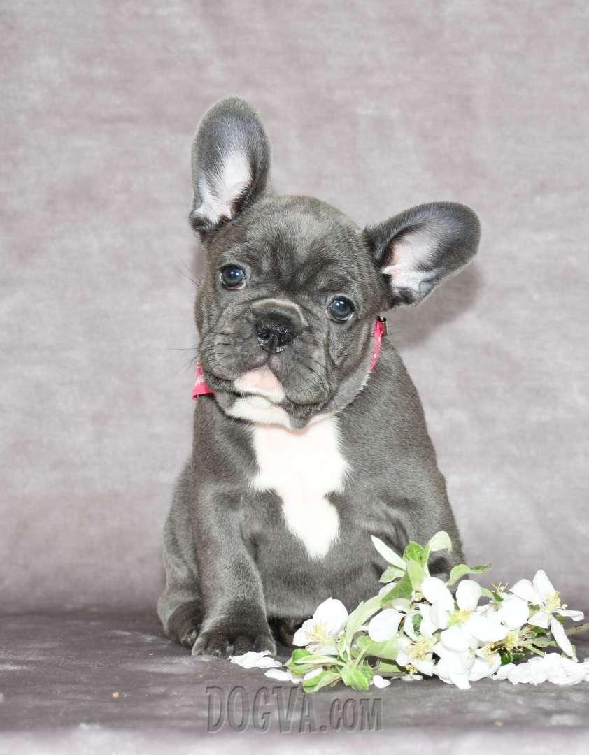 French Rainbow Kennel French Bulldog 101 Ukraine Dogva Com