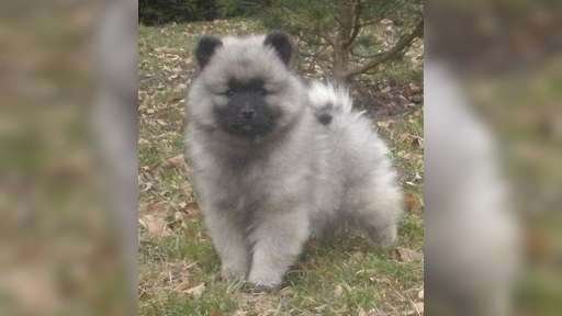 Keeshond excelent puppies for Sale - pedigree FCI - German Spitz (097)
