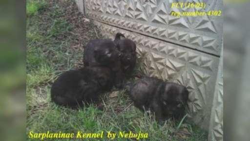 Sarplaninac Kennel by Nebojsa FCI (16/03 - 4302) - Yugoslavian Shepherd Dog (Sharplanina) (041)