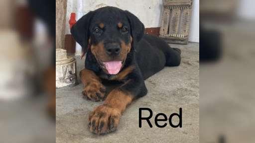 Rottweiler Puppies - Rottweiler (147)