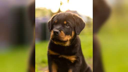 A boy and a girl rottweiler, with unique LKF (FCI) pedigree, from highly-titled parents are available. - Rottweiler (147)