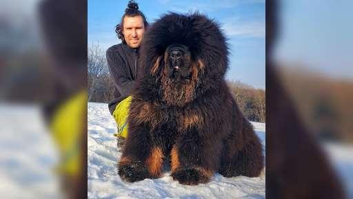 Tibetan mastiff  - Tibetan Mastiff (230)