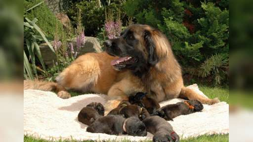 Leonberger puppies - Leonberger (145)
