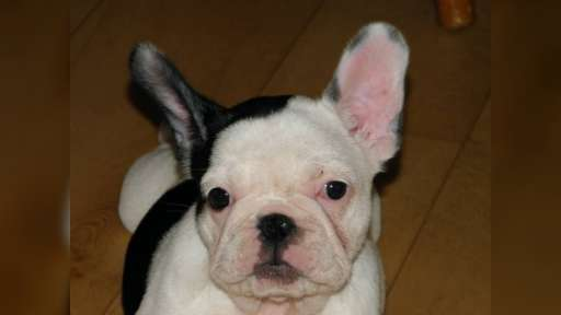 fr.bulldog pupppies  - French Bulldog (101)
