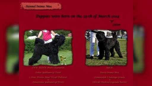 Russian Black Terrier male for sale - Russian Black Terrier (327)