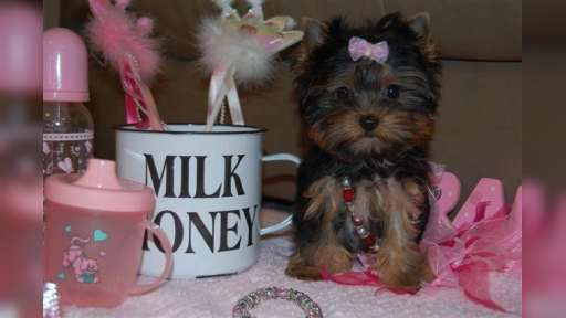 Micro Pocket Teacup Yorkie For Adoption - Yorkshire Terrier (086)