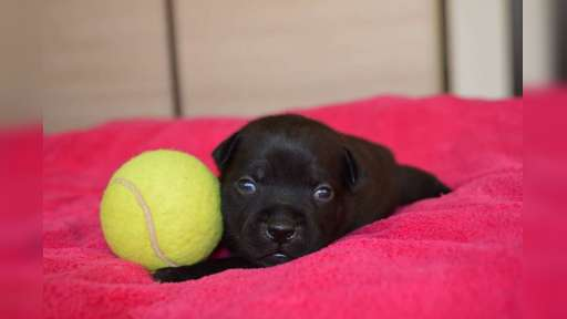 Staffordshire bullterrier puppies for sale - Staffordshire Bull Terrier (076)