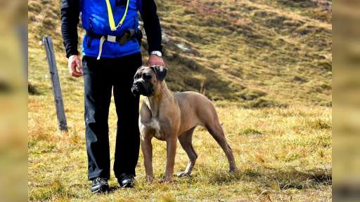 Formentino pupies Cane Corso with pedigree - Italian Corso Dog (343)
