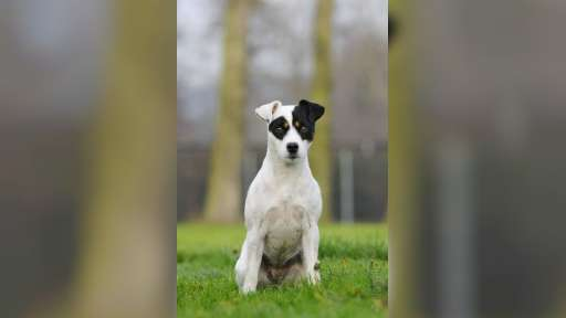 Parson Russell Terrier puppies for sale - Parson Russell Terrier (339)