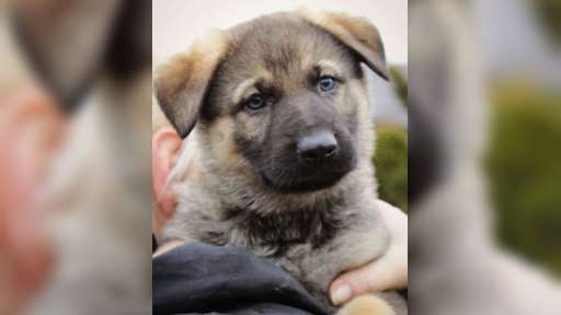 German Shepherd Dog puppies for sale - German Shepherd Dog (166)
