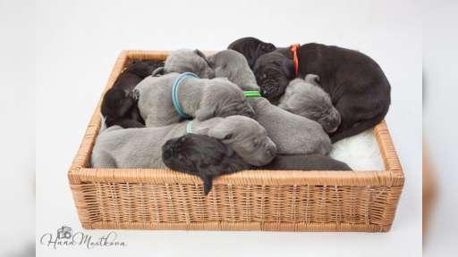 Great Dane Puppies - Great Dane (235)