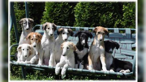 Borzoi puppies - Borzoi (Russian Hunting Sighthound) (193)