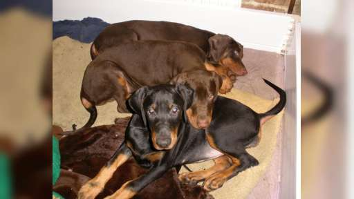 Dobermann puppies, FCI pedigree, 3 month old - Dobermann (143)