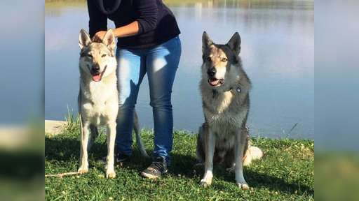 Sounds Wild Of Hungary - Czechoslovakian Wolfdog (332)