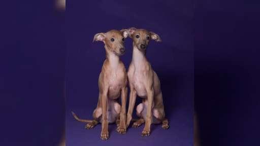 Italian greyhound puppies - Italian Greyhound (200)