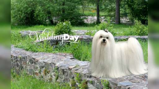 Luxury maltese puppies - Malteser (065)
