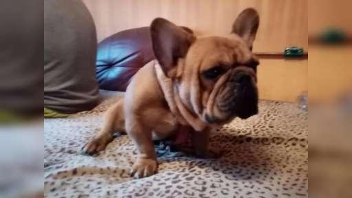 Buldog francuski szczeniaki,French Bulldog, Francouzský buldoček štěně - French Bulldog (101)
