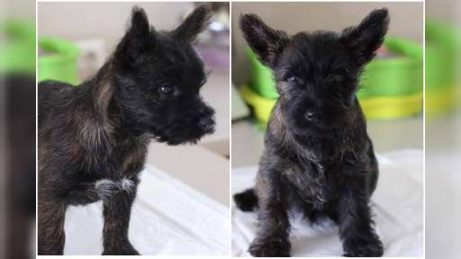 Cairn Terriers for sale - Cairn Terrier (004)