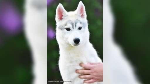 Siberian Husky from health & champion parents - Siberian Husky (270)