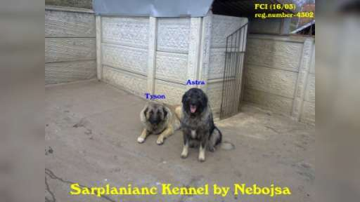 Sarplaninac Kennel by Nebojsa FCI (16/03 - 4302) - Yugoslavian Shepherd Dog (Sharplanina) (041)