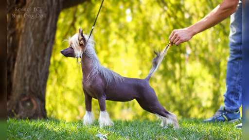 Chinese Crested Dog - Chinese Crested Dog (288)