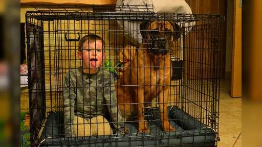 Blue, black Cane Corso puppies with pedigree - Italian Corso Dog (343)