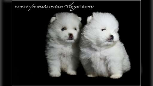 White puppies Pomerance - Pomeranian