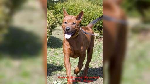 Unmistakable,  striking,  individual and ravishing  Thai Ridgeback Puppies!!! - Thai Ridgeback Dog (338)
