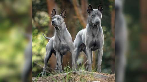 Thai ridgeback dog – blue puppies  with FCI pedigree. - Thai Ridgeback Dog (338)