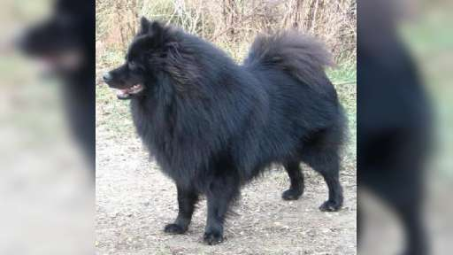 Grossspitz - Giant German Spitz puppies for sale - German Spitz (097)