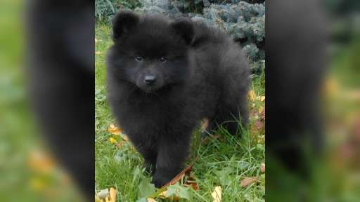 Grossspitz welpen - Giant German Spitz Black puppies for sale - pedigree FCI - German Spitz (097)