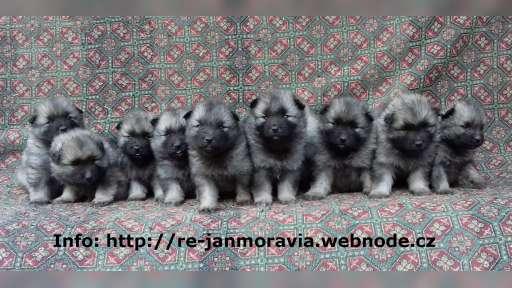 Keeshond puppies for sale - pedigree FCI  - German Spitz (097)