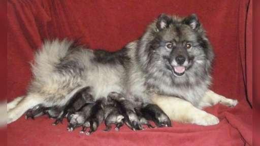 Keeshond excelent puppies for Sale - German Spitz (097)