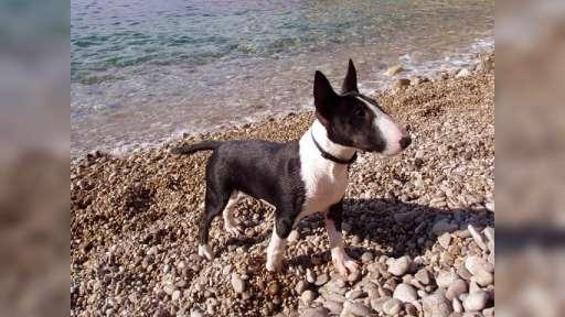 Miniature Bull Terrier - Bull Terrier (011)
