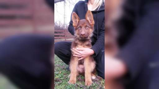 Chocolate(Liver) German Shepherd Dog puppies - German Shepherd Dog (166)
