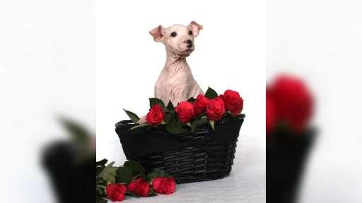American Hairless Terrier Boy - American Hairless Terrier