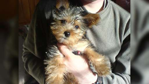 Magnificent teacup Yorkie puppies for adoption - Yorkshire Terrier (086)