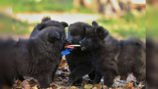 Grossspitz - Giant German Spitz Black puppies for sale - pedigree FCI - German Spitz (097)