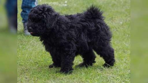 Puppies PULI - Puli (055)