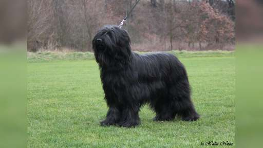 Briard puppies FCI - Briard (113)