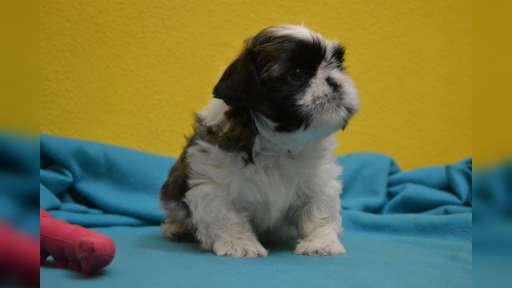 Shih-tzu with pedigree - Shih Tzu (208)