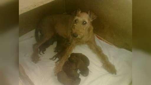 Irský teriér - štěňata s PP - Irish Terrier (139)