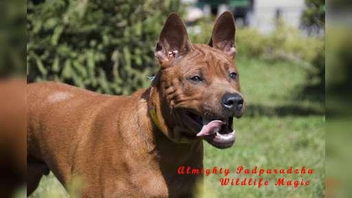 Unmistakable,  striking,  individual and ravishing  Thai Ridgeback Puppies - Thai Ridgeback Dog (338)