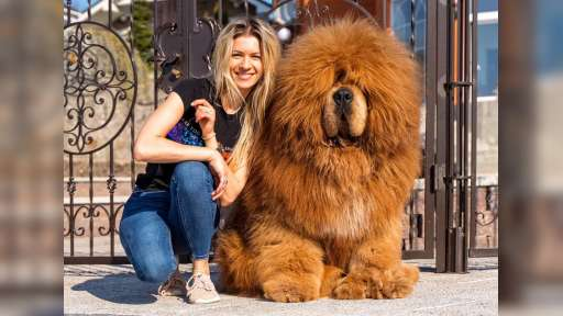 Dogs of your dream - Tibetan Mastiff (230)