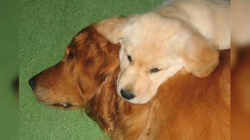 Demo showcase - Beautiful puppies for sale from DemoUser - Labrador Retriever (122)