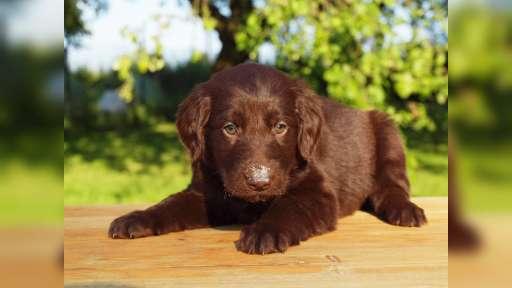 Flat coated retriever puppies - Flat Coated Retriever (121)