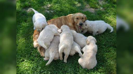 Golden Retriever puppies with papers from Slovakia - Golden Retriever (111)